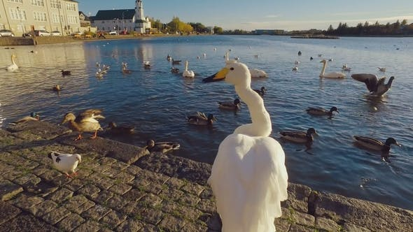 Thumbnail for Swan Is Walking on a Shore of Icelandic City Lake Tjornin and Descending To the Water