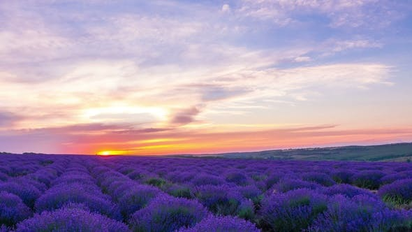 Thumbnail for Sunset Over A Field Of Lavender