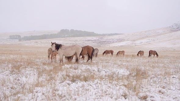 Thumbnail for The Horses Graze on the Snowy Field and Leave. Snowing.