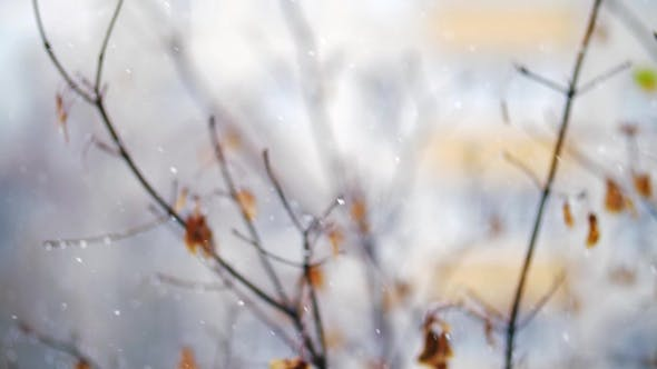 Thumbnail for Snow Falling Against Faded Autumn Tree