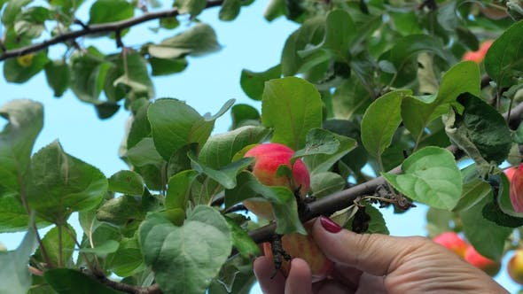 Cover Image for Picking Red Apple From a Tree in Summer