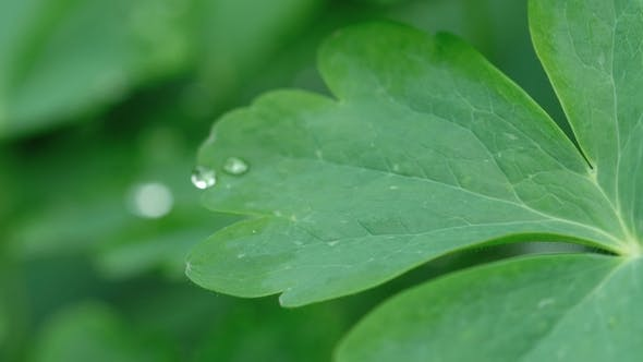 Thumbnail for Aquilegia Leaf with Raindrops