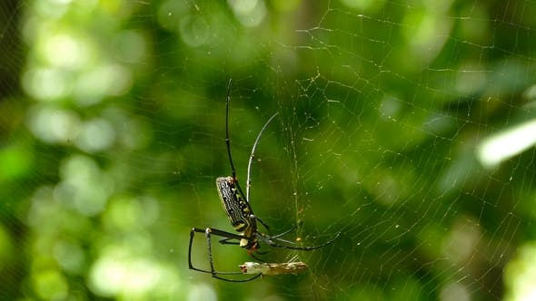 Thumbnail for Large Nephila Spider with Her Cub Removes Sprig