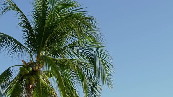 Cover Image for Coconut Palm Under Sky,