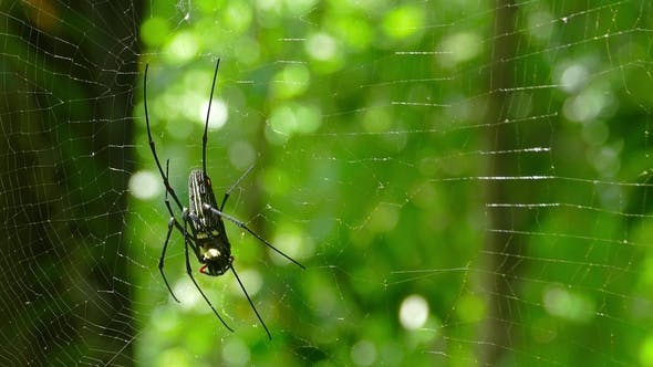 Thumbnail for Large Nephila Spider with Her Cub on the Web,