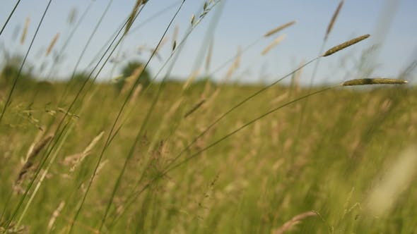 Thumbnail for Meadows of Grass Swaying in Summer