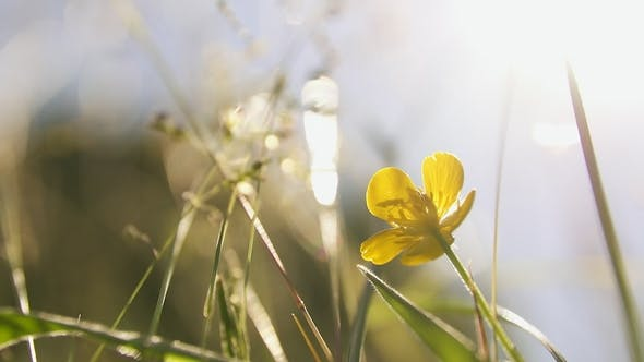 Thumbnail for Buttercup in Summer Meadow
