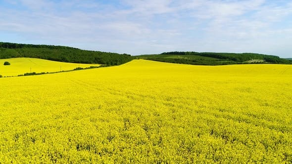 Thumbnail for Aerial View of a Field of Rapeseed with Beautiful Cloud. Green Energy.