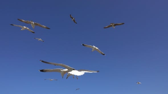 Thumbnail for Many Seagulls Fly Against Blue Sky at Sunny Day