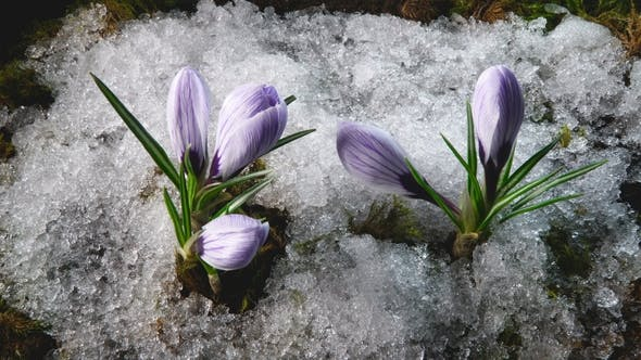Thumbnail for Snow Melting and Crocus Flower Blooming in Spring
