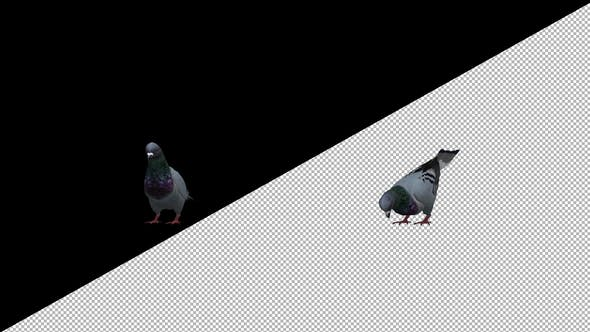 Thumbnail for Pigeon Eat Front Side
