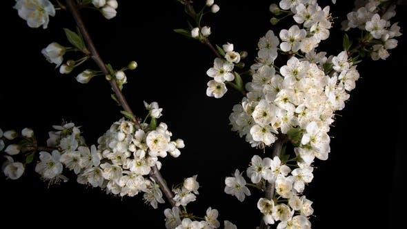 Cover Image for Flowering White Flowers