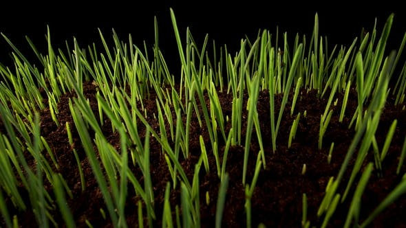 Thumbnail for Growing Green Grass Plant
