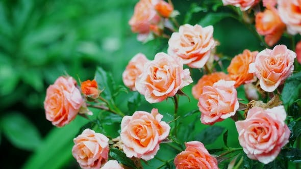Thumbnail for Beautiful Roses Bush in the Garden. Pouring Rain Feeds the Soil for Flowers Growing in the Yard