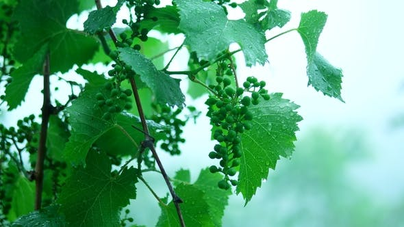 Thumbnail for Summer Rain in the Forest Drops of Water Drip From Green Leaves of Grape Vine