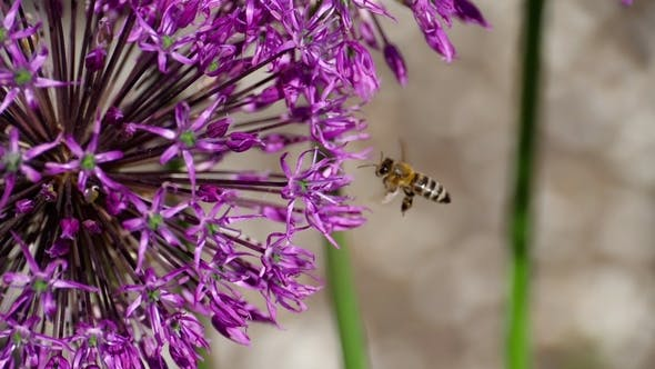 Thumbnail for Bee on Onion Flowers