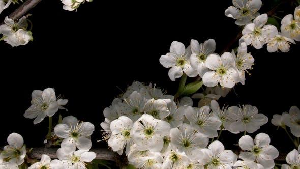 Thumbnail for Flowering White Flowers