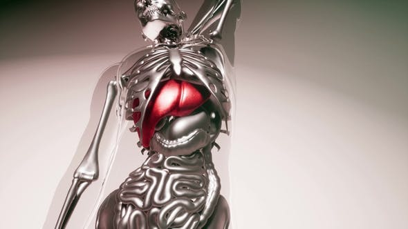 Thumbnail for Human Liver Model with All Organs and Bones