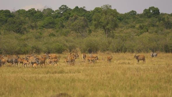 Common eland herd in Masai Mara