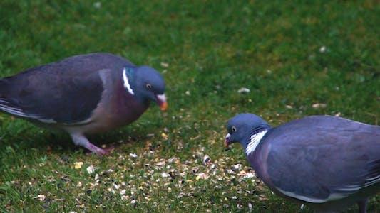Pair of Wood Pigeons