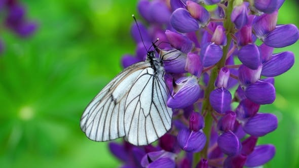 Thumbnail for Black Veined White Butterfly on Flowers of Lupine