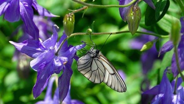 Thumbnail for Black Veined White Butterfly on Aquilegia Flower