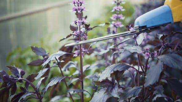 Thumbnail for Woman Gardener Cuts Pruner Basil