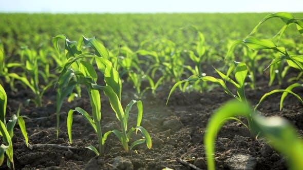 Wachsende Pflanzen Feld der jungen Maissprossen. Lebensmittel-Modifikation Crop Farming Konzept.