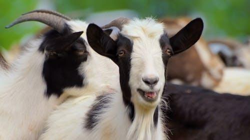 Animal Goat