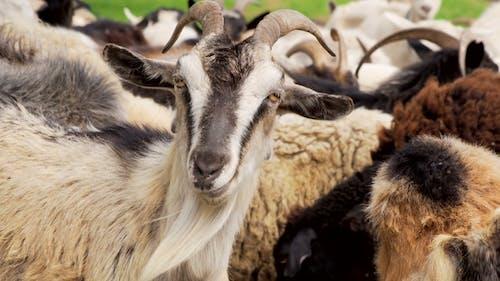Animals Goats