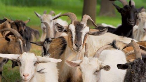 Animals.Goats