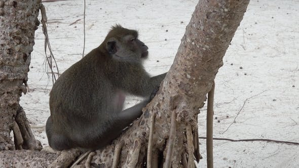 Thumbnail for Fat Monkey on Tropical Island Beach in Thailand