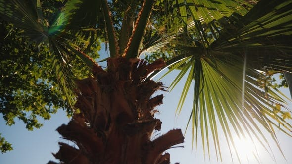Thumbnail for The Rays of the Sun Shine Through the Green Leaves of the Palm. Against the Blue Sky