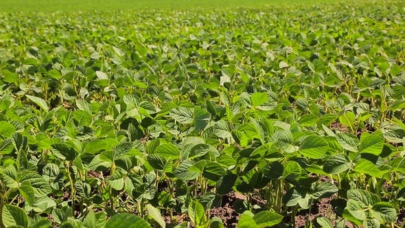 Thumbnail for Soybean Field Just Sprouted Soy in a Field with Green Leaflets