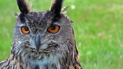 Cinemagraph of Owls Face and Eyes Moving