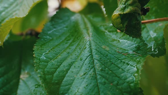 Cover Image for Leaves and Rain Drops