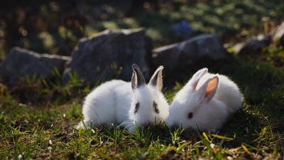 Easter White Rabbits on the Grass
