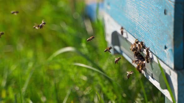 Bees at the beehive hole