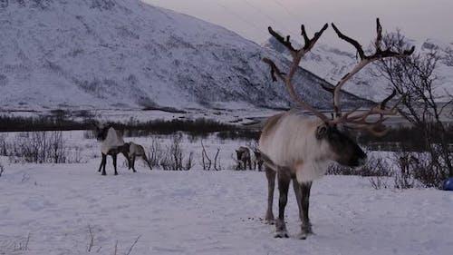 Reindeer with large antlers, Arctic, Norway