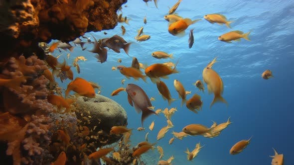 Cover Image for Coral Fish Reef Marine Life