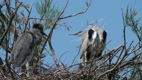 Grey heron, Ardea cinerea, Camargue,  ornithological park of Pont de Gau France