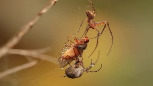Close Up Macro Shot of a Two Spiders Fight for the Captured Victim