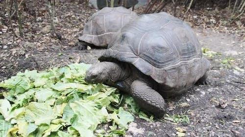 Huge Aldabra Giant Tortoise Eats Green Leaves in the Reserve Zanzibar Africa