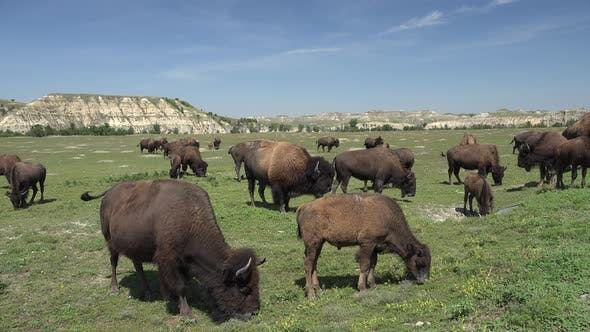 Thumbnail for Bison Bull Cow Adult Young Herd Many Breeding in Summer Grazing Rutting Bellowing Green