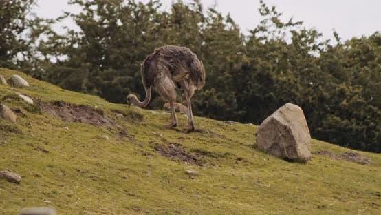 Ostrich On Grass In Safari Park
