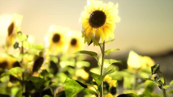 Thumbnail for Sunflower Field on a Warm Summer Evening