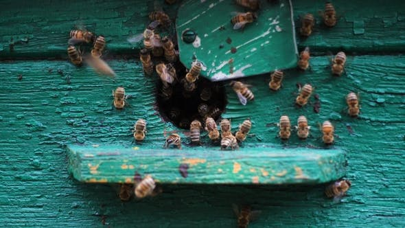 Thumbnail for Bees Flying in and Out Beehive  View