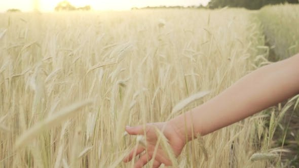 Cover Image for Girls Hand Through Wheat