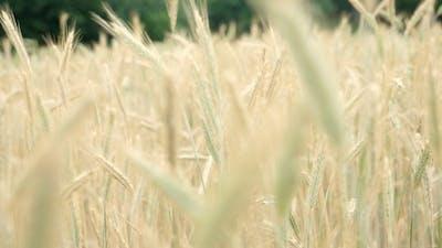 Wheat Field in Breeze