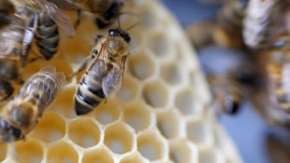 Thumbnail for Working Bees Work Honeycomb with Honey.